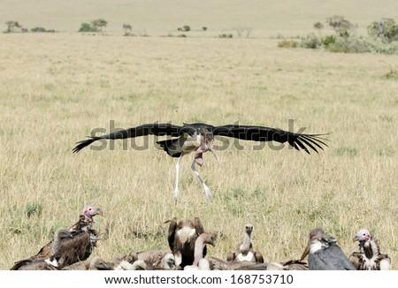 A Marabou Stork landing near carcass - stock photo