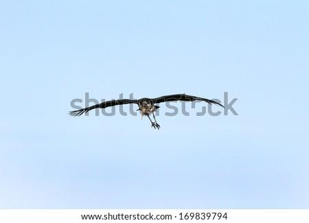 A Marabou Stork on blue sky - stock photo