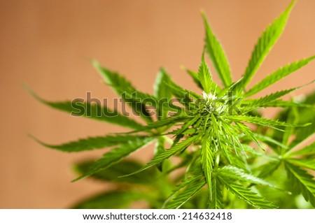 a marijuana plant almost ready to harvest - stock photo