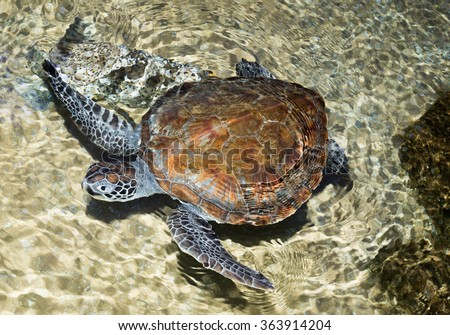 a marine turtle mostly endangered Hawksbill - stock photo