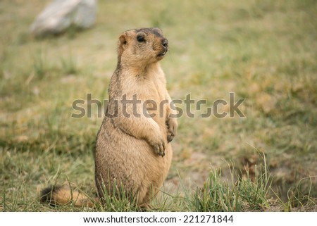 A Marmot  - stock photo
