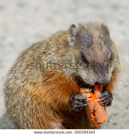 A Marmot eating a carrot. - stock photo