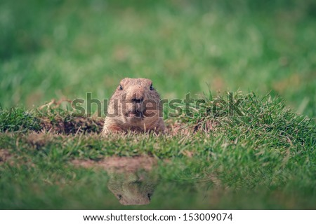 A Marmot in a Hole Looking Curiously - stock photo