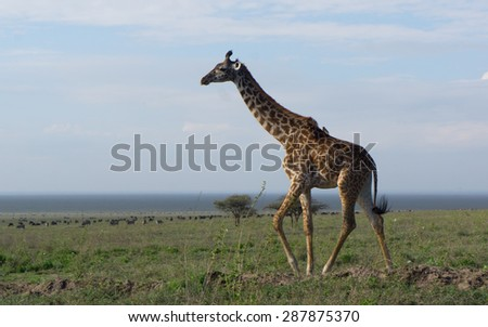 A Masai giraffe standing on plain in Serengeti National Park, Tanzania, Africa  - stock photo