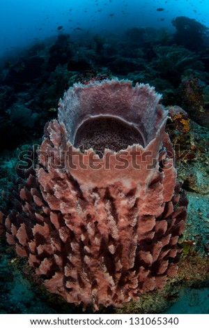 A massive barrel sponge (Xestospongia sp.) grows on a diverse coral reef in Indonesia.  Sponges are important filter feeders on reefs. - stock photo