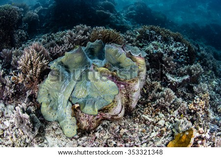 A massive giant clam (Tridacna gigas) grows on a shallow reef in Raja Ampat. This clam is an endangered species found throughout the Indo-Pacific region. - stock photo