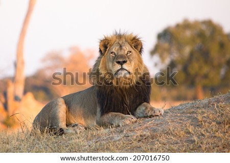 A massive male lion staring straight into the camera with large orange eyes. - stock photo