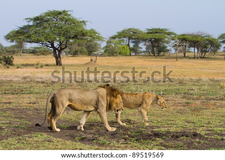 A mating pair of lions walking through an open area of a game reserve in Africa