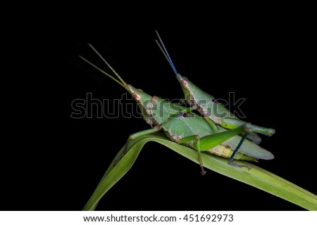 A mating pair of Vegetable Grasshopper- Atractomorpha. on a blade of grass at night
