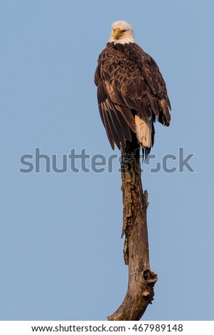 A mature bald eagle is perched on a dead tree.