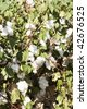 a mature cotton field before defoliation and harvest - stock photo