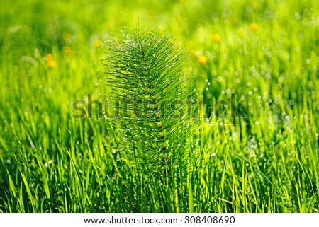 A mature Horsetail or otherwise known as Marestail, Equisetum Arvense, and spring buttercups in a Cotswold meadow with selective focus, diffused background and bokeh, Gloucestershire, United Kingdom - stock photo