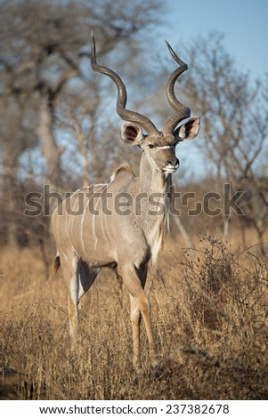 A mature Kudu Bull walks towards the photographer - stock photo