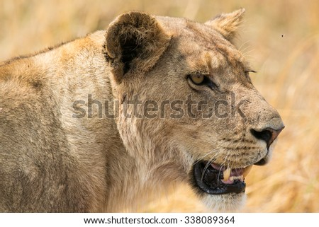 A mature lioness takes guard over her young pride. Moremi Game Reserve, Okavango Delta, Botswana, Africa, - stock photo