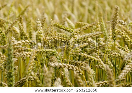 a mature wheat is in the field - stock photo