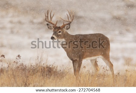 A mature white-tailed buck pauses in a snow storm during the rutting season in Montana. - stock photo