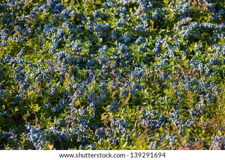 A medium shot of a field of Blueberries in Maine, USA during mid August, Summer. - stock photo