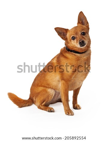 A medium size young Chihuahua mixed breed golden color dog sitting with a sad expression on his face - stock photo