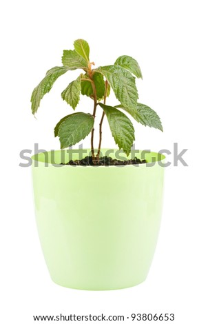 a medlar in pot, isolated on white - stock photo