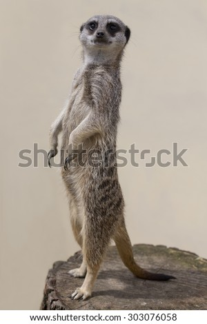 A meercat standing up against a plain background - stock photo