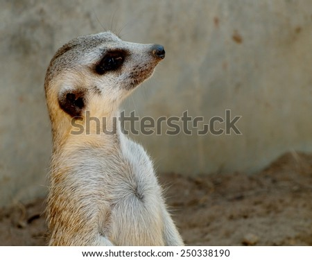 a meerkat, meercat, small little sweet friendly mammal with light brown fur black eyes long nose and small ears standing watching outside in nature to alert and protect the group and family  - stock photo