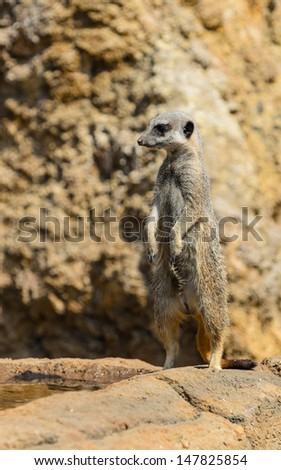 A meerkat on its hind legs