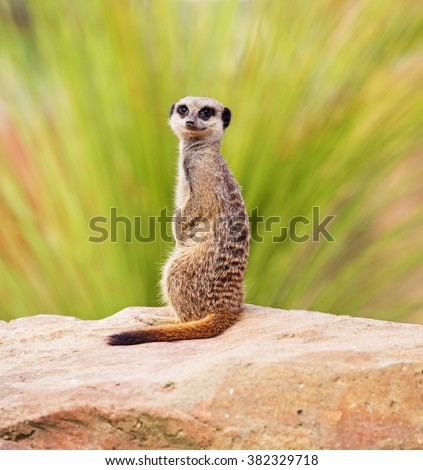 A meerkat, perched on a rock - stock photo