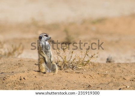 A Meerkat sat upright against a blurred natural background, Kalahari Desert, South Africa - stock photo