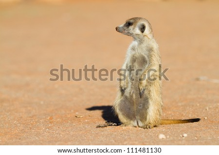 A meerkat sitting in the sun looking to the left