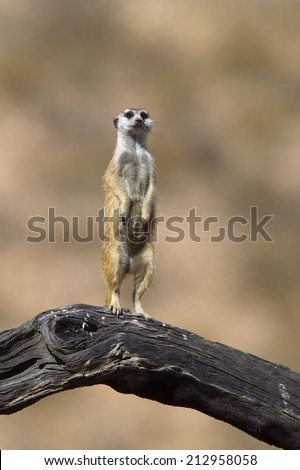 A Meerkat stood upright looking at the camera, on a dead log against a blurred natural background, Kalahari Desert, South Africa - stock photo