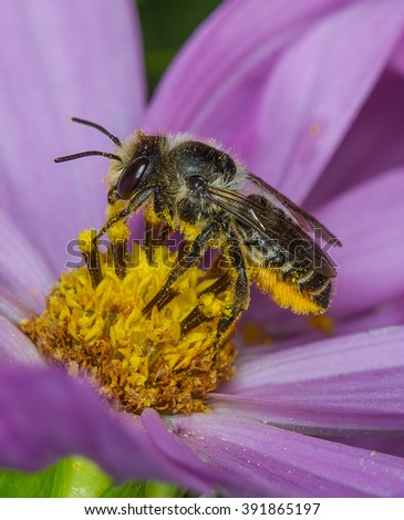 A megachile sp.leafcutter bee on Cosmos flower.