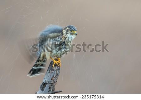 A Merlin in the Rain - stock photo