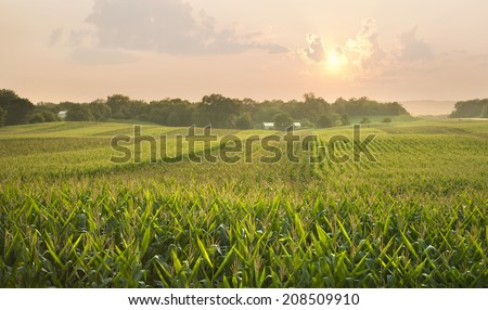 A midwestern cornfield glistens below the setting sun - stock photo