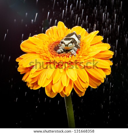 A milk frog on a yellow flower in the rain - stock photo