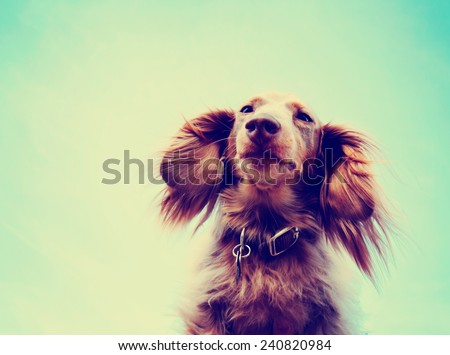 a miniature long haired dachshund with his ears flowing in the breeze toned with a retro vintage instagram filter effect - stock photo