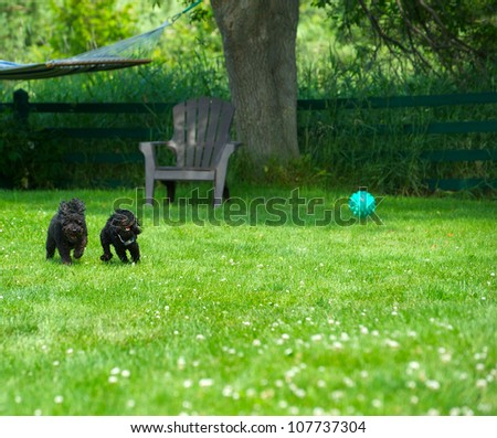 A miniature poodle and toy poodle puppy playing ball in the summer. - stock photo