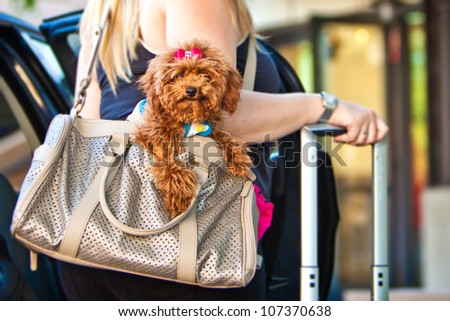 A miniature Poodle dog in a travel carrier bag being held by a woman getting out of a car with a suitcase - stock photo
