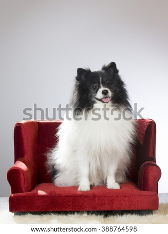 A mittelspitz portrait. The dog is sitting in a red sofa. - stock photo