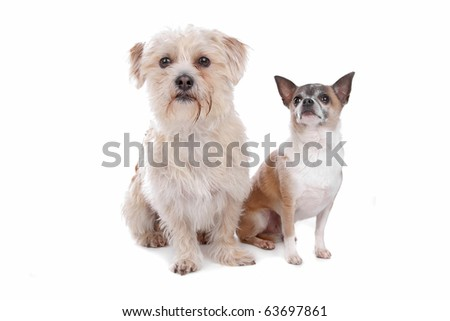 a mixed breed dog and a chihuahua isolated on a white background