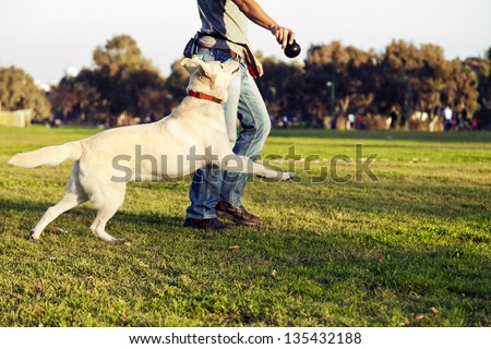 A mixed Labrador female dog looking up and running after the chew toy her trainer is holding. - stock photo