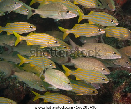 A mixed school of Tomtate and Small Mouth Grunt Fish - stock photo