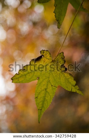 A mixture of yellow and green leaves ready to fall. - stock photo