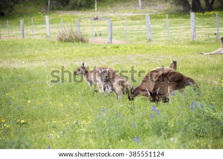 A mob of Western Grey macropus fuliginosus grazing in the green grassy field near Australind , Western Australia on a cloudy afternoon in spring  are a popular Australian icon. - stock photo