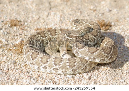 A mojave green rattlesnake (Crotalus scutulatus) found in the Mojave desert of California. - stock photo