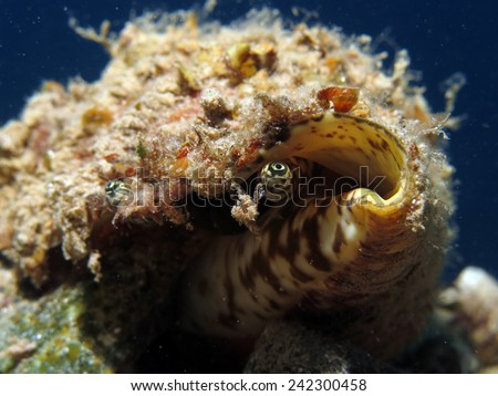 A mollusk shell (snail, gastropod) with probing eyes, Dahab, Red Sea - stock photo