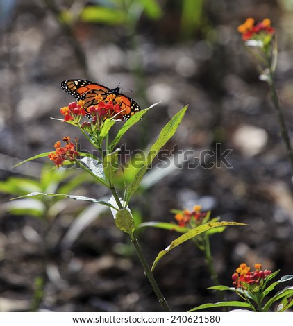 A Monarch butterfly feeds on the flowers of a milkweed. - stock photo