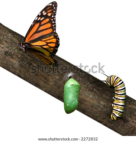 a monarch butterfly in differing stages of life from caterpillar to cocoon to butterfly - stock photo