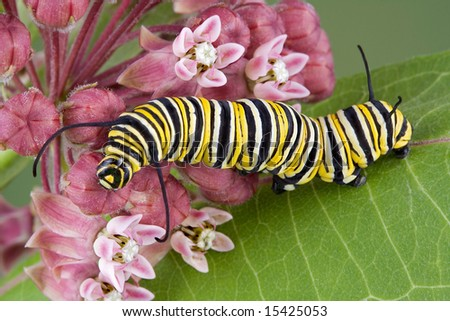 A monarch caterpillar is crawling on flowering milkweed. - stock photo