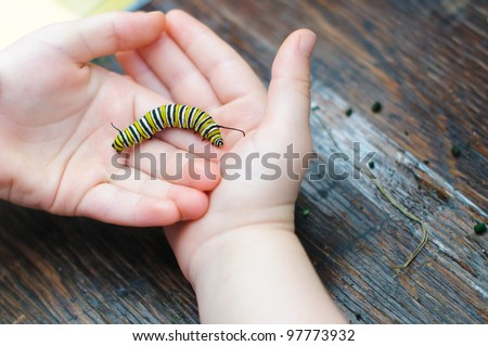 A Monarch caterpillar rests in a child's cupped hands. - stock photo