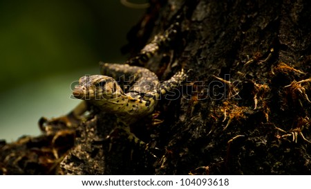 a monitor lizard looking from a tree - stock photo
